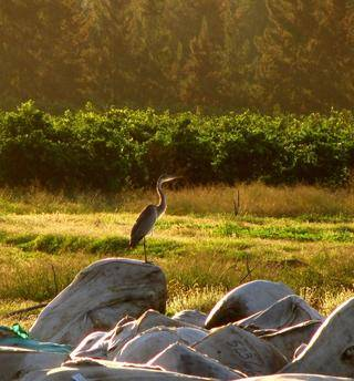 black headed heron on the wool bales in the orchards roets medium