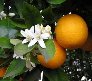 organic citrus juice farming