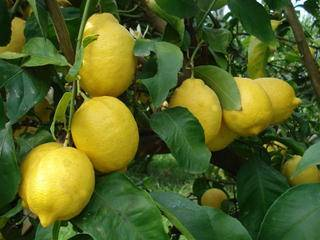 organic lemon citrus